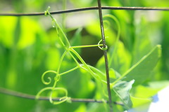 Pea Tendrils (interchangeableparts) Tags: green spring peas tendrils lensbabymacro