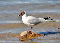 Hettemke/Black-headed Gull (BeateL) Tags: sognsvann blackheadedgull hettemke