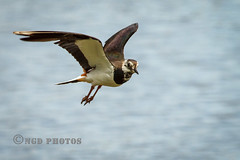 Lapwing (Nigel Dell) Tags: summer birds flickr wildlife places lapwing moorgreen ngdphotos