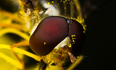 hover fly (asish mohanty) Tags: light shadow sunlight green eye up fly leaf compound nikon close natural flash tubes sigma tokina extension teleconverter 250 asish hoverfly robber mohanty dcr 105mm damsefly raynox lauxaniidae d7000 sb910