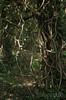 Ivy Twines (Shastajak) Tags: pentax ivy 55mm m42 handheld climber manualfocus k5 twines pentaxk5 1971supermulticoatedtakumar11855 takumarf18