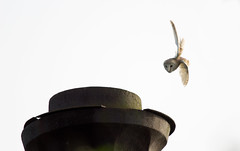 BARN OWL TAKING OFF (jdoakey) Tags: uk greatbritain england sky brown bird beautiful up animal barn fly flying wings pretty breast close feeding britain dusk sony great flight dive wing beak feathers feather diving down clear attitude raptor stunning norwich fields british lovely alpha gliding dslr favourite fen soe animalplanet bearded raptors oakley barnowl clearsky birdofprey bif highaltitude birdinflight strumpshaw a55 thewildlife strumpshawfen flickraward avianexcellence dslt sal70400g sony70400 flickraward flickraward5 flickrawardgallery sonya55 theinspirationgroup