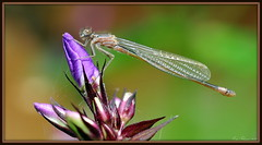 Damselfly drying up / Waterjuffer aan het opdrogen (Eric Tilman) Tags: up het damselfly waterjuffer aan drying opdrogen unlimitedinsectslevel1