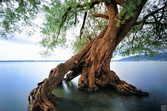 survive the flood (gregor H) Tags: blue portrait lake tree water landscape austria moving flood branches bregenz bark carlzeiss vorarlberg zf distagont3518 zeissphk12