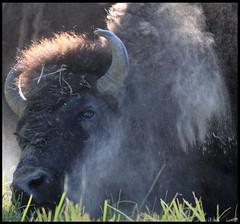Bath (gainesp2003) Tags: nature bath wildlife dirt yellowstonenationalpark wyoming bison behavior wy