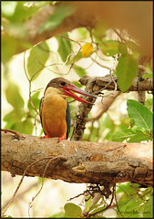 Stork-billed Kingfisher (....Nishant Shah....) Tags: india bird nature nikon wildlife kingfisher rajasthan ranthambore 300mmf28 storkbilledkingfisher halcyoncapensis ranthamborenationalpark nikond90