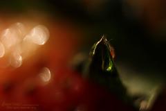 Strawberry Bokeh (s@mar) Tags: strawberry bokeh extensiontubecloseup red fotodioxcanoneosmacroextensiontube fotodiox canoneosrebelxsi450d 450d canon eos macro extension tube set 1855mm f3556 lens
