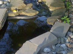 scylla and charybdis 2 (dksalerni) Tags: pond frogs scyllaandcharybdis