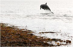 Close in to shore 25/7/12 (niknok2007...) Tags: wild beach nature scotland dolphin shore dolphins calf inverness rosemarkie breach fortrose wildbottlenosedolphin