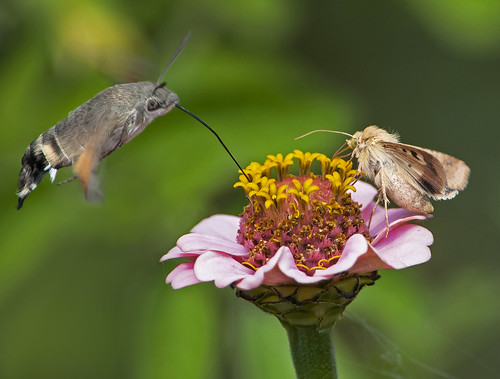 Hummingbird moth and moth 15.8