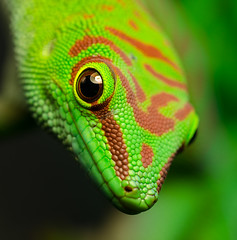 Day Gecko says hello (nakkimo) Tags: macro day sigma gecko phelsuma 150mm madagascariensis