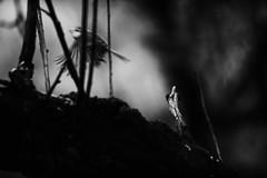 The escape. (MikaelWiman) Tags: birds animals se sweden bluetit kil blackandwhitephotography värmland