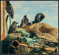 All of a twitter! (Bev Goodwin) Tags: england beach birds liverpool crosby starlings merseyside sonya37