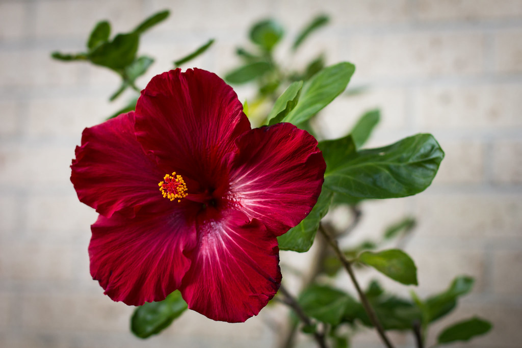 tag pink hibiscus flower - photo #46
