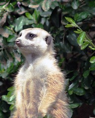 "MERKAT 177 (Dancing with Ghosts Graphics) Tags: copyright cute animal mammal meerkat pups small gang mob clan mongoose angola sentry suricate burrows suricatta desert"" diurnal 2013 fawncolored herpestid iteroparous ""kalahari ""namib debbrawalker feliform dancingwghosts ""suricata suricatta"" ""botswana"" oraging siricata"" majoriae"" iona"""