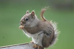 Red Squirrel at the Birdfeeder (Saline, Michigan) (cseeman) Tags: squirrel michigan birdfeeder feeder perch saline redsquirrel