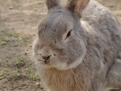 Fluffy  -  (snakecats) Tags: rabbit hokkaido     yunigarden    yunicho