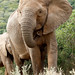 Clost Up of The African Bush Elephant