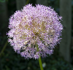 Giant allium (Shotaku) Tags: flowers plants plant flower macro closeup bulb garden purple round bulbs