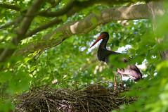 hidden in the forest (w-venne) Tags: wood bird forest buchenwald nest foliage wald bltter baum beech vogel beechwood brood brut teutoburgerwald storch blackstork schwarzstorch ciconianigra