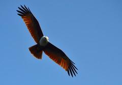 Brahminy Kite (Rick Elkins) Tags: india kite eagle kerala raptor backwaters accipitridae brahminykite redbackedseaeagle