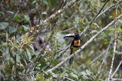 Collared aracari (Pteroglossus torquatus) (Sinisa78) Tags: rain forest toucan costarica collared tucano torquatus aracari pteroglossus