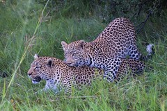 Leopard Mother And Son (Barbara Evans 7) Tags: game reserve son barbara leopard and botswana moremi xakanaxa evans7
