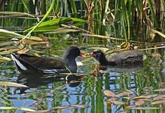 Feeding Time III (Bricheno) Tags: bird scotland escocia chick szkocja renfrew schottland moorhen scozia renfrewshire cosse  esccia   bricheno clydeviewpark scoia