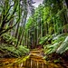 Redwood Forest-9