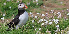 Puffin 150516 (60) (Richard Collier - Wildlife and Travel Photography) Tags: birds southwales wildlife ngc naturalhistory npc puffin british skomerisland britishbirds
