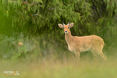 Bohor Reedbuck (Nicola Destefano) Tags: male animal mammal wildlife fulllength nobody ethiopia sideview bale oneanimal juniperus cervicapra bohorreedbuck reduncaredunca balemountainsnp