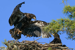 Practice Makes Perfect (20160618-192106-PJG) (DrgnMastr) Tags: allrightsreserveddrgnmastrpjg pjgergelyallrightsreserved baldeagles cropped eagles eaglets ia49 grouptags bravo avianexcellence overtheexcellence naturescarousel sunshinegroup naturesspirit littlestories picswithsoul diamondclassphotographer flickrdiamond fb dmslair winneroneofthebest specanimal coth brilliantnature specanimalphotooftheday