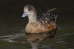 A Wonderful Wigeon (Patricia Ware) Tags: california canon losangeles flash fullframe americanwigeon kennethhahnpark anasamericana ef400mmf56lusm specanimal httppwarezenfoliocom 2016patriciawareallrightsreserved