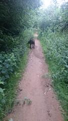 Hudson Wandering and Walking (Filmstalker) Tags: mobile woods labrador path hudson chocolatelabrador hudsonbrunton