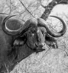 Cape Buffalo (dunderdan77) Tags: cape buffalo wildlife kruger national park africa