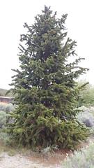 Bristlecone Pine at GBNP