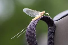 IJ9A9925 (Rudy Malmquist) Tags: macro insect fishing sulphur flyfishing mayfly