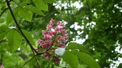 P1070716 (MartinMVZ) Tags: flower prague praha most hradany karlv