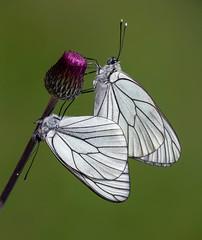 Aporia crataegi (Charaxes14) Tags: aporia crataegi gömörszőlős butterfly lepidoptera insect kelebek pieridae pierid white black green veins pair copula copulating couple mating spring