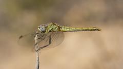 Young  (Explore 15.06.2016) (jrosvic) Tags: portrait insectos macro closeup la spain dragonfly insects murcia libelula freehand cartagena odonata entomologia azohia nikon60mmf28dmicro d7100