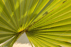Frond and gray (Thad Zajdowicz) Tags: palm frond leaf closeup green nature plant flora transmittedlight lightroom canon eos 5dmarkiii dslr digital color gray colour light shadow abstract primelens 50mm ef50mmf12lusm foliage pattern texture organicpattern diagonal minimalism tree palmtree zajdowicz pasadena california outdoor outside