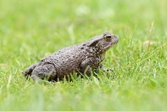 Common Toad ~ Bufo bufo ~ Weybourne Garden (8) (Rowettia) Tags: uk norfolk amphibians bufobufo weybourne commontoad weybournegarden