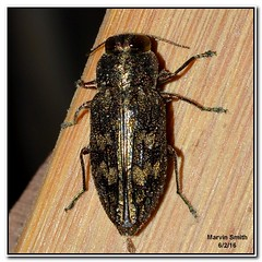 Metallic Wood-boring Beetle (Chrysobothris sp.) (Slomoz) Tags: beetle arkansas ozarks coleoptera ozarkmountains arkansasozarks chrysobothris metallicwoodboringbeetle