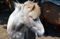 Island Pferde Dnemark 2016 (bunkertouren) Tags: horses horse denmark island urlaub pony henne pferde dnemark pferd 2016 fohlen islandpferde islnder blaabjerg hennestrand islandpony henneby blbjerg islnderpferd stutterivestkysten