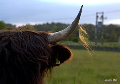 Hairy Highland Horn (mootzie) Tags: scotland highland cow black hairy scottish aberdeen horn ginger fur field