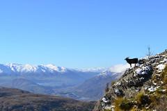 The goat on the cliff (Alex Ferrero) Tags: new cliff snow mountains track goat mount zealand queenstown lomond mochilero vidademochila