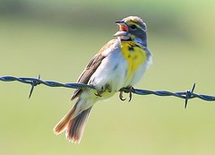 dickcissel male near Lime Springs IA 854A0765 (lreis_naturalist) Tags: county male howard reis iowa larry springs lime dickcissel