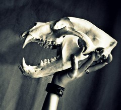 Ursus Americanus Skull (Little Lioness) Tags: blackandwhite selfportrait skull punk mementomori blackbear punkgirl animalskull omnivore bearskull littlelioness omnomnom predatorskull biggestblackbear ibreakforwildlife roadkilledbear roadkillanimals natureskull northamericanskulls beartoothpendant wolftoothpendant blackbearskulls recordbookblackbear 400poundblackbear hugebearskull girlholdingskull roaringskull roaringbearphotos photosofbearsroaring lionessroaring selfandsurroundings punkselfportrait