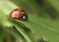 dot to dot (CWigs) Tags: macro up close critter ladybird