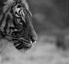 Tiger (katja guenther) Tags: blackwhite spring tiger april sw 2012 frühling hallesaale specanimal bergzoohalle